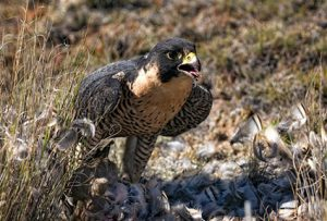 Peregrine feeding on chuckar