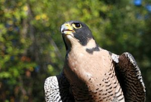 close up photo of a peregrine