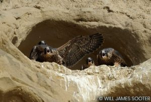 Image of a peregrine nest