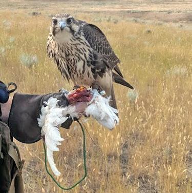 Prairie Falcon on glove